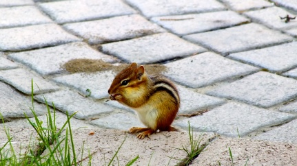 Little chipmunk eating by the grey patio stones