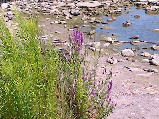 Wild flowers on the rocky beach