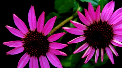 Striking pinks in James Gardens